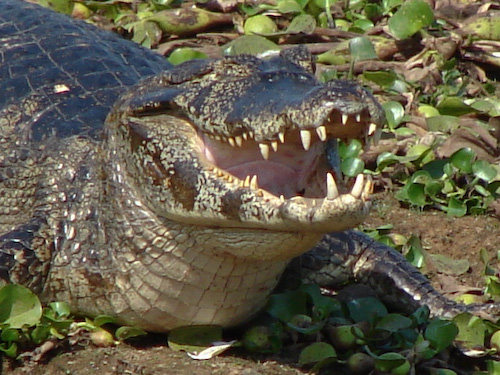 Jacaré en el Pantanal ( Brasil).jpg